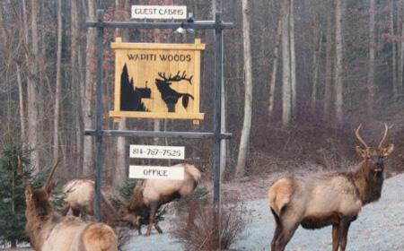 wapiti-woods